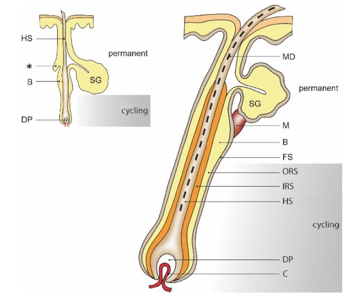 纵切面上,从上到下毛囊分为三个部位:毛囊漏斗部,毛囊峡部,下部是从立